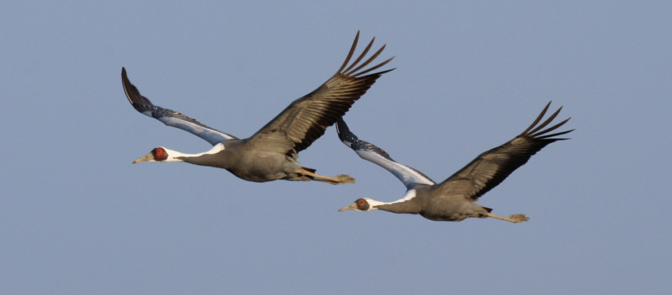 photo of White-naped Cranes from our Japan's Winter Wildlife expedition