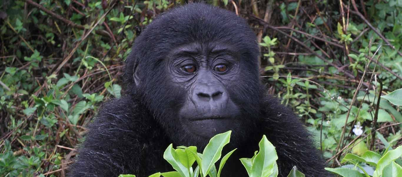 Uganda safari tour slide shows mountain gorilla