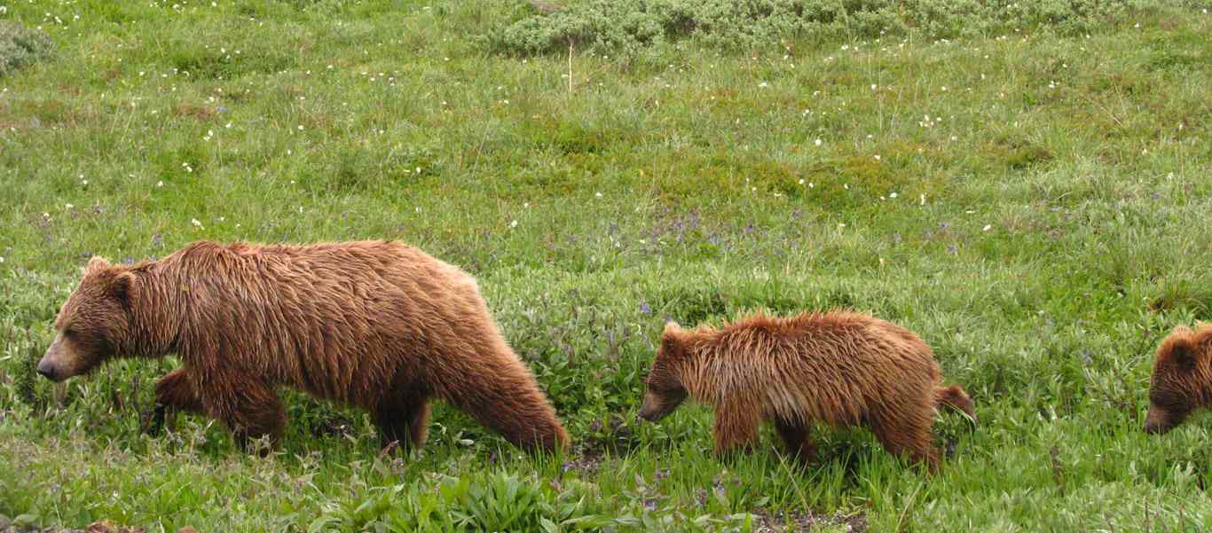 Denali tour photo showing Grizzly bear and cubs in Denali National Park, Alaska