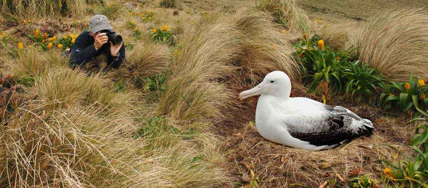 New Zealand Subantarctic Islands Cruise slide shows Royal Albatross on Campbell Island