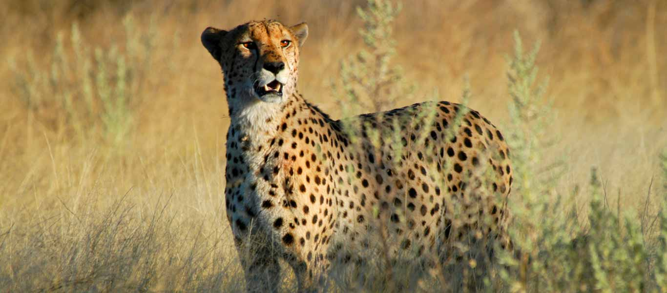 Botswana safari tour image shows Cheetah