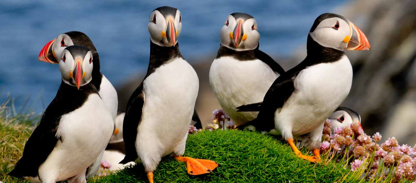 North Atlantic birding photo of Puffins