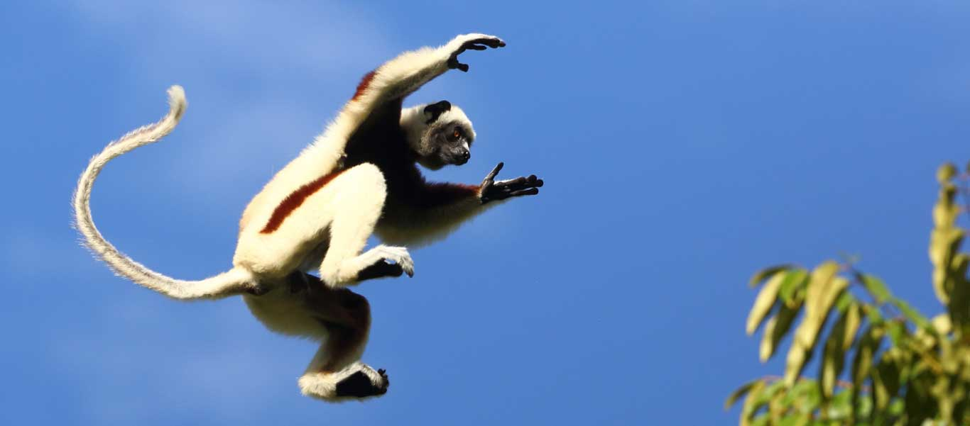 Madagascar tours image of a Coquerel's Sifaka in mid air.