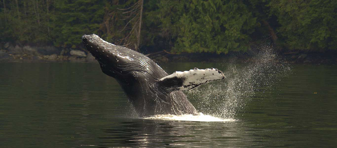 British Columbia adventure photo of breaching Humpback Whale