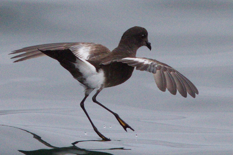 Photo of Pincoya Storm Petrel