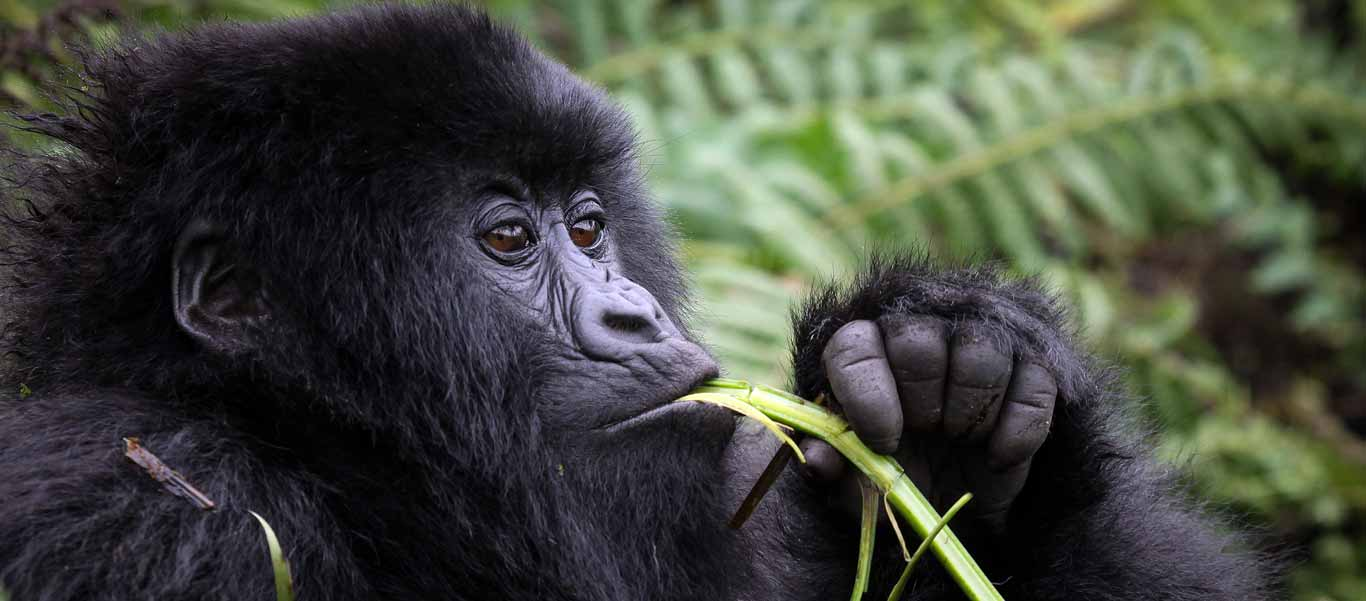 Congo and Rwanda wildlife safari slide showing a Mountain Gorilla eating
