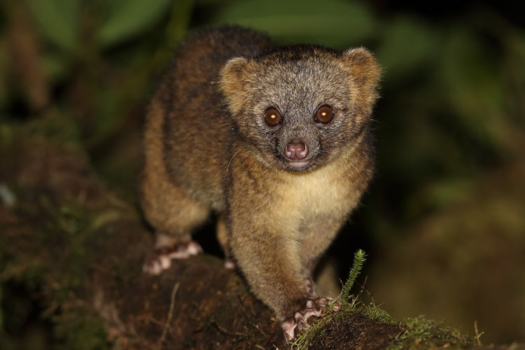 Ecuador travel image shows Olinguito