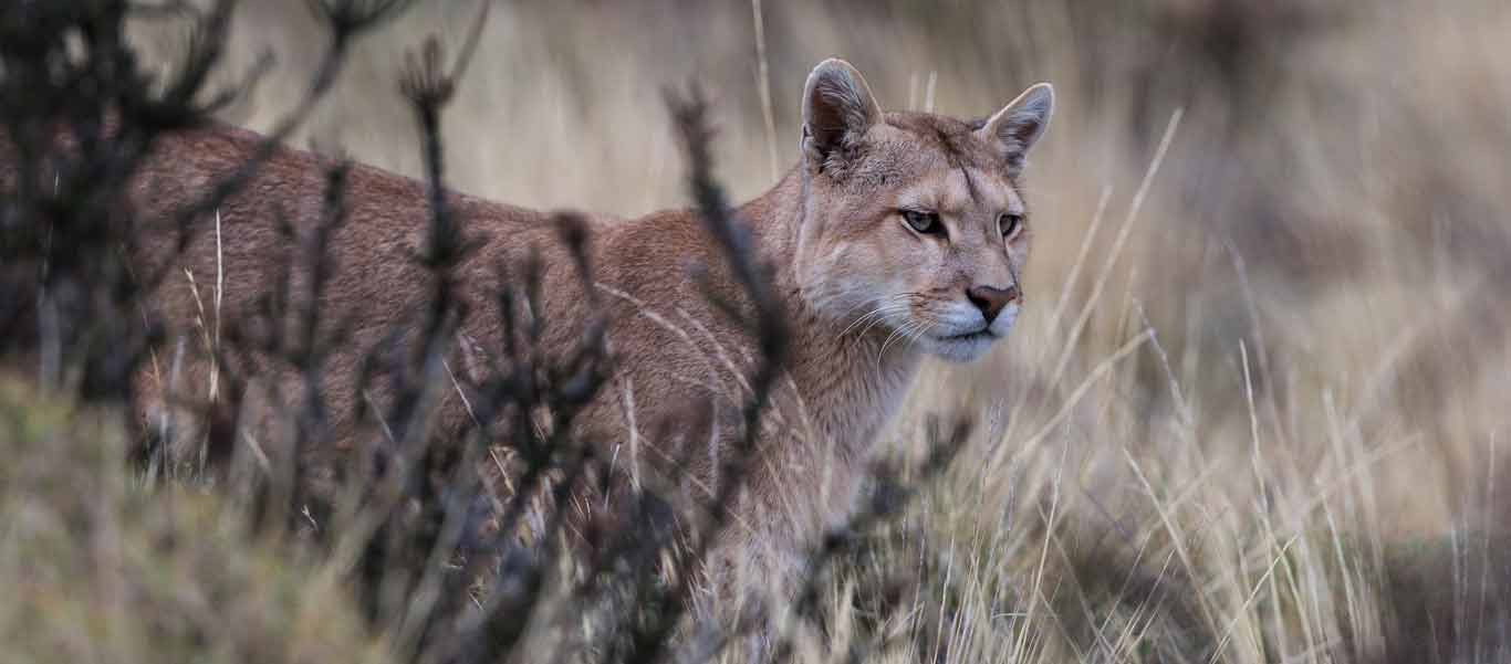 Patagonia expedition photo of a Puma in Torres del Paine National Park