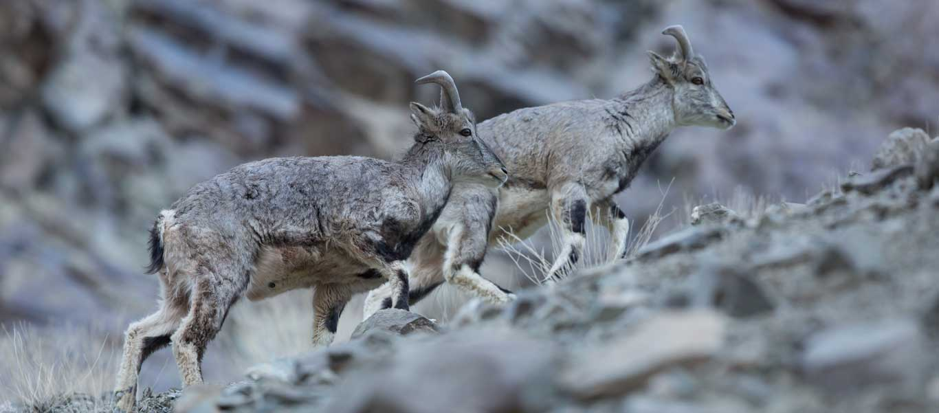 Snow Leopard Adventures image of Blue Sheep in Himalayas