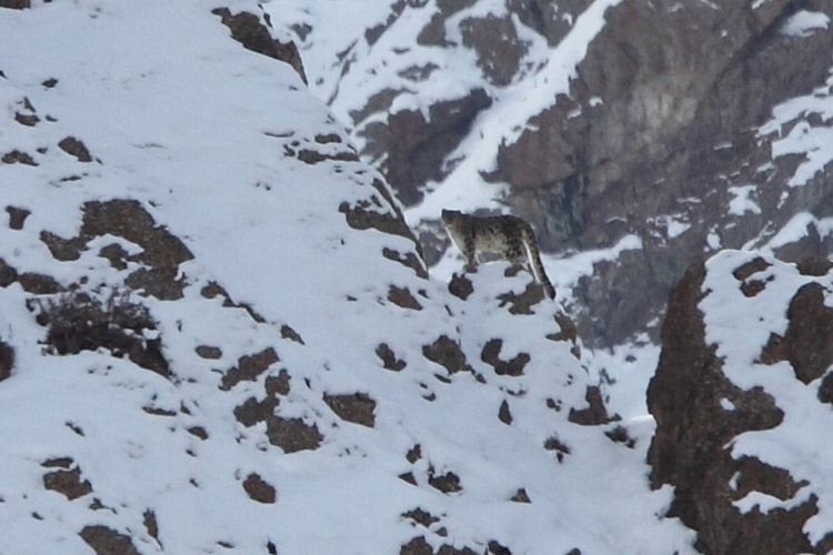 Image shows Snow Leopard in Hemis National Park