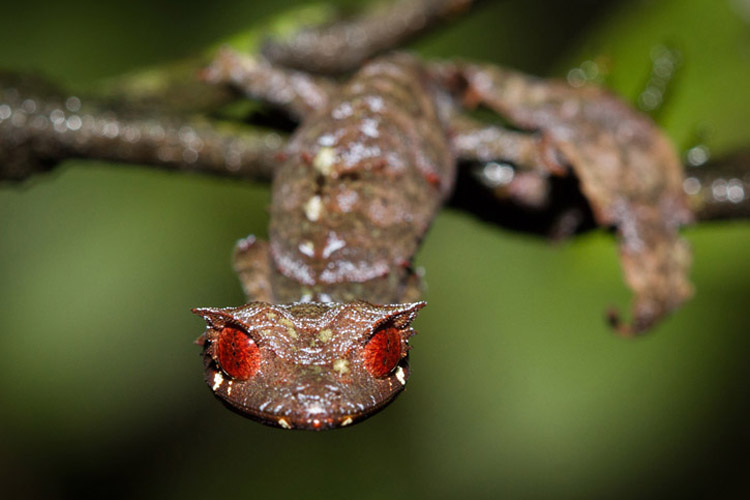 Madagascar tours slide shows a Uroplatus phantasticus, or Baweng Satanic Leaf Gecko