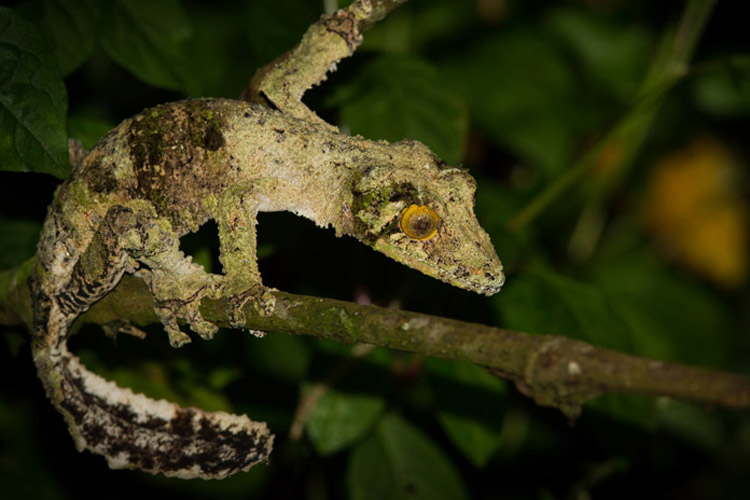Madagascar tours slide shows a Uroplatus sikorae, or Mossy leaf-tailed gecko