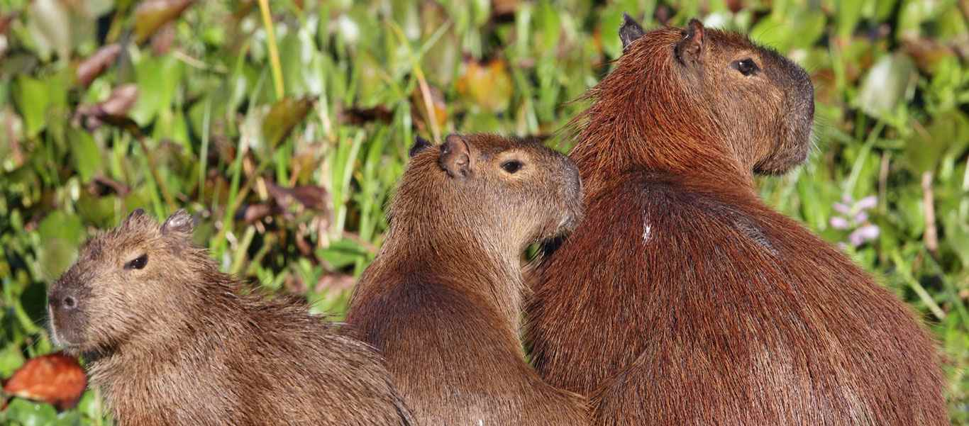 Brazil wildlife tour slide of three Capybaras