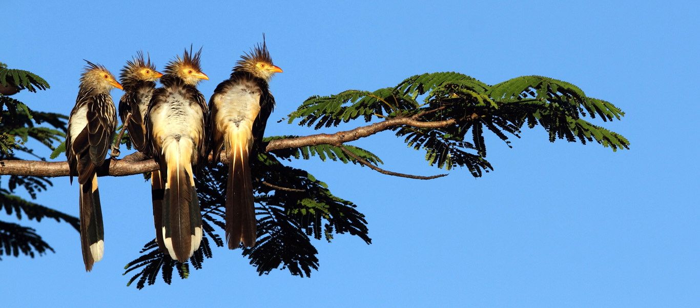 Brazil wildlife tour photo of four Guira Cuckoos in a tree