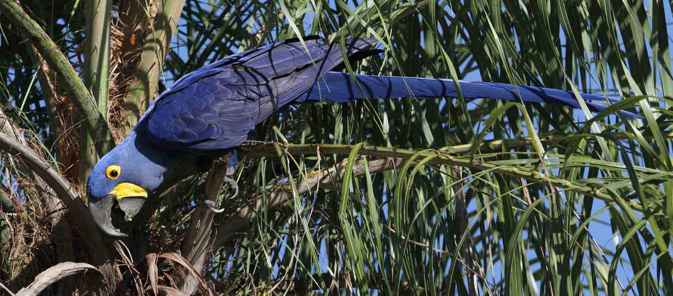 Brazil wildlife tour slide showing Hyacinth Macaw in a tree