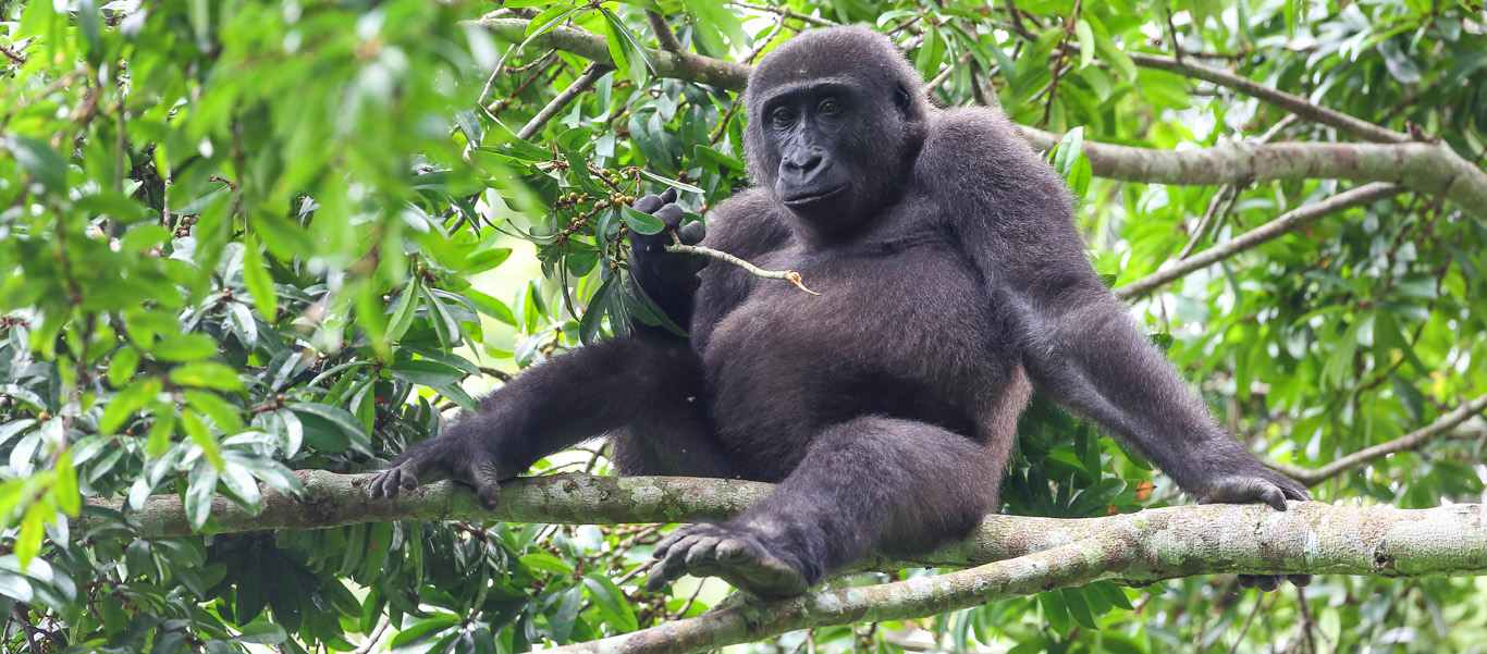 Congo safari photo of Western Lowland Gorilla at Ngaga Camp