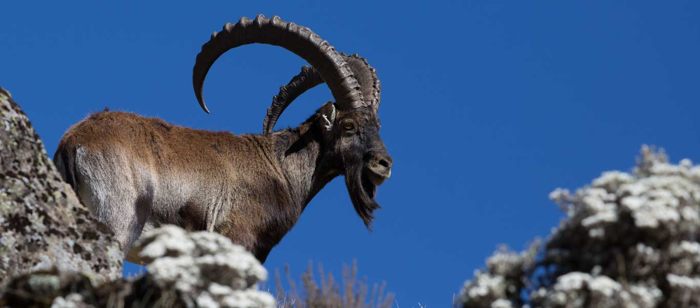 Ethiopia travel tour slide showing a Walia Ibex in Simien Mountain National Park