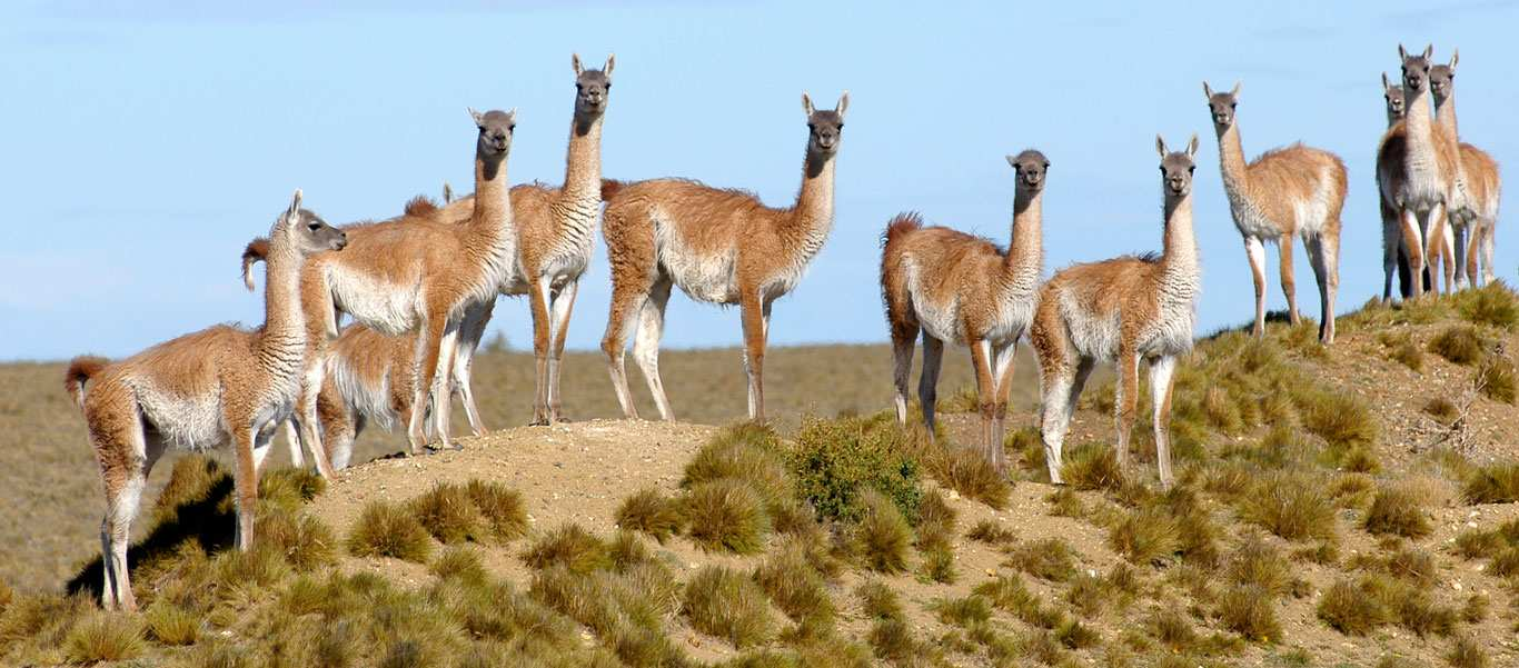 Patagonia adventure expedition slide showing Guanacos