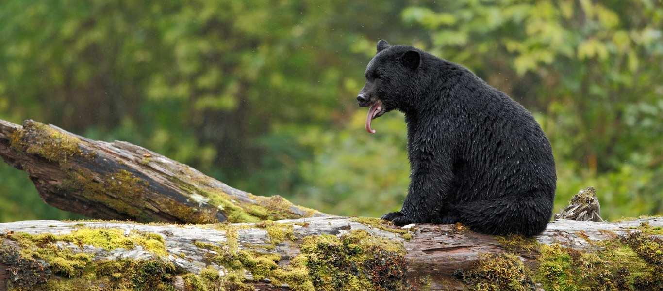 Spirit Bears Canada tour photo of black bear habitat
