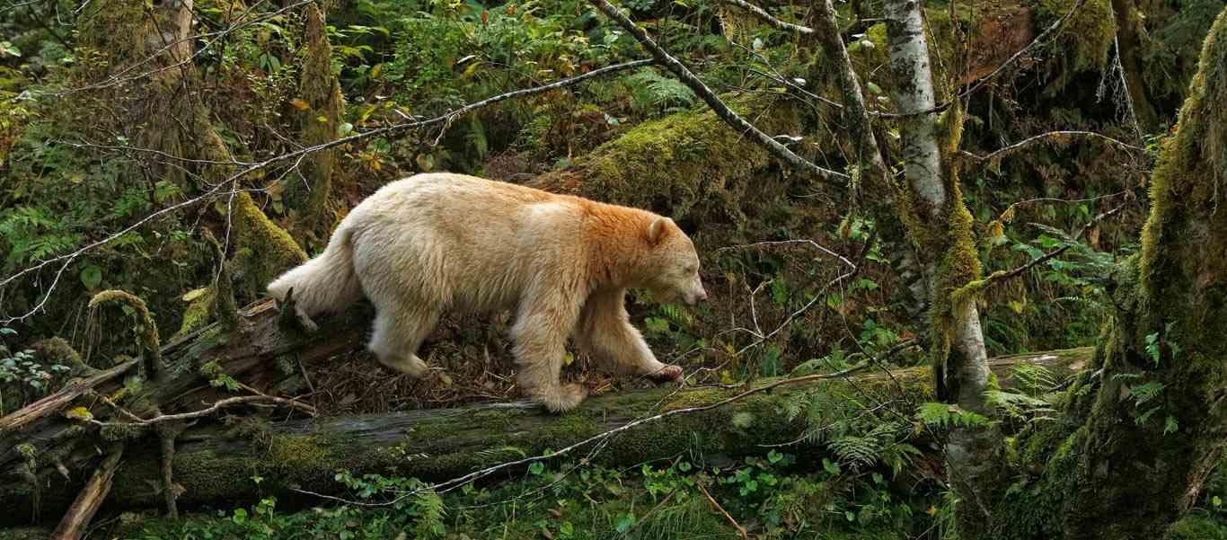 Spirit bear tour slide showing a kermode or Spirit Bear in Canada's Great Bear Rainforest