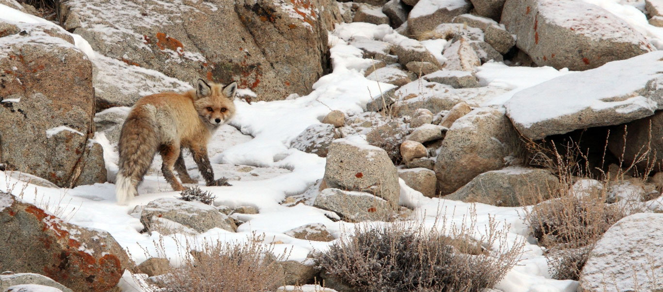 Snow Leopard expedition slide of a Red Fox