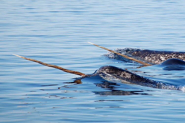 Image featuring narwhals