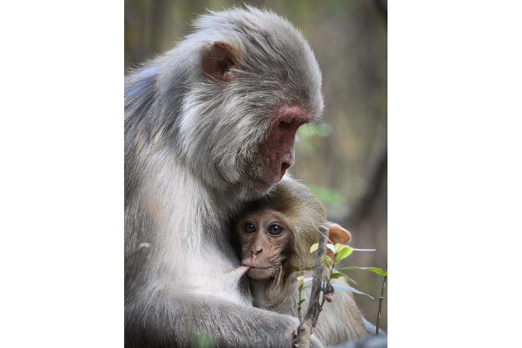 India wildlife tour photo showing Rhesus Macaque in India