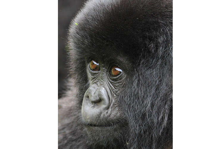 Congo and Rwanda wildlife safari slide showing baby gorilla face