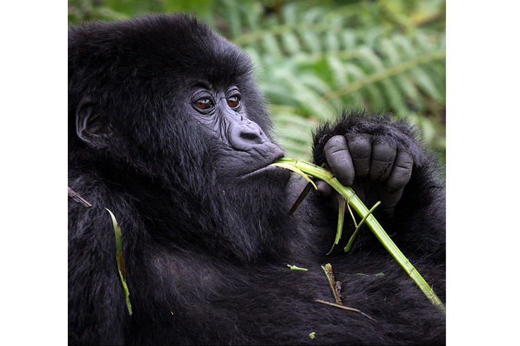 Congo and Rwanda wildlife safari photo showing Mountain Gorilla