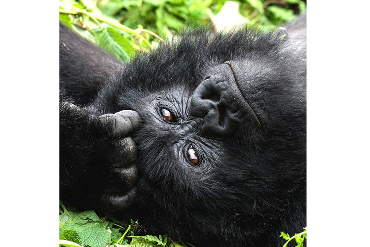 Congo and Rwanda wildlife safari slide shows gorilla lounging