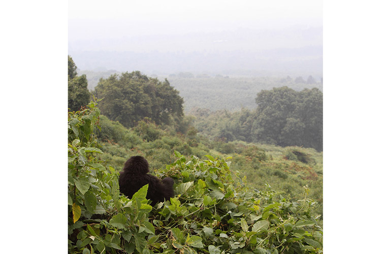 Rwanda gorilla safaris slide shows mountain gorilla looking at forest canopy