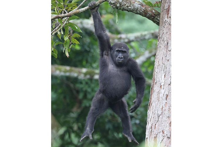 Congo safari image shows Western Lowland Gorilla hanging from tree branch