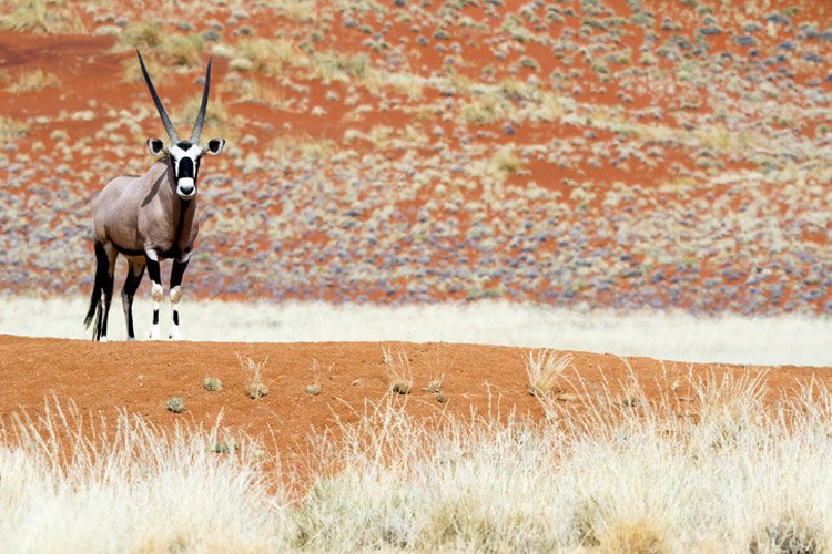 Namibia wildlife safari slide features a Gemsbok
