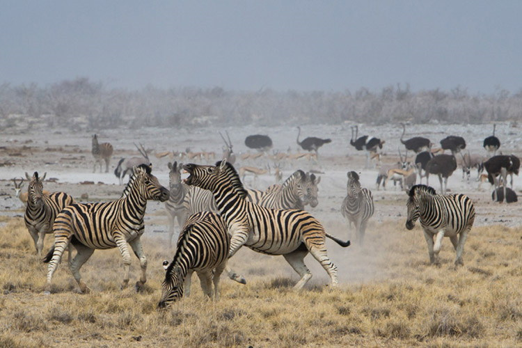 Namibia wildlife safari slide shows zebras and ostriches