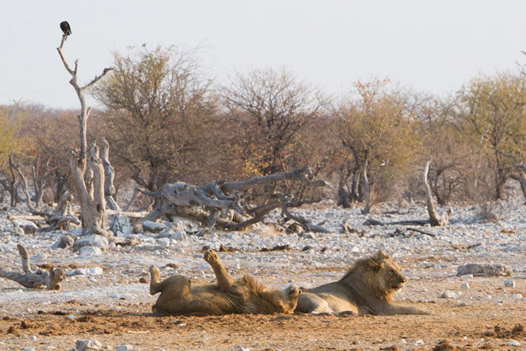 Namibia safari slide shows lions lounging