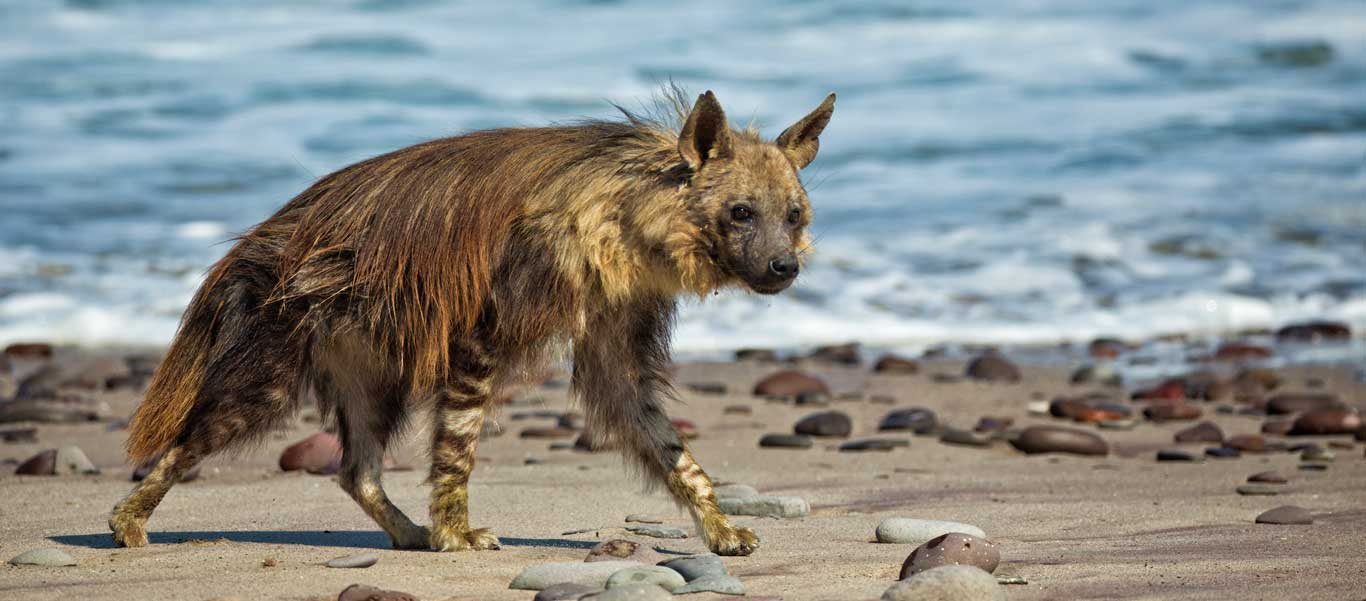 Namibia safari image of Brown Hyena on Skeleton Coast