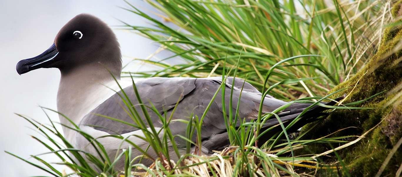 Transatlantic cruise image showing Light Mantled Sooty Albatross tussock grass