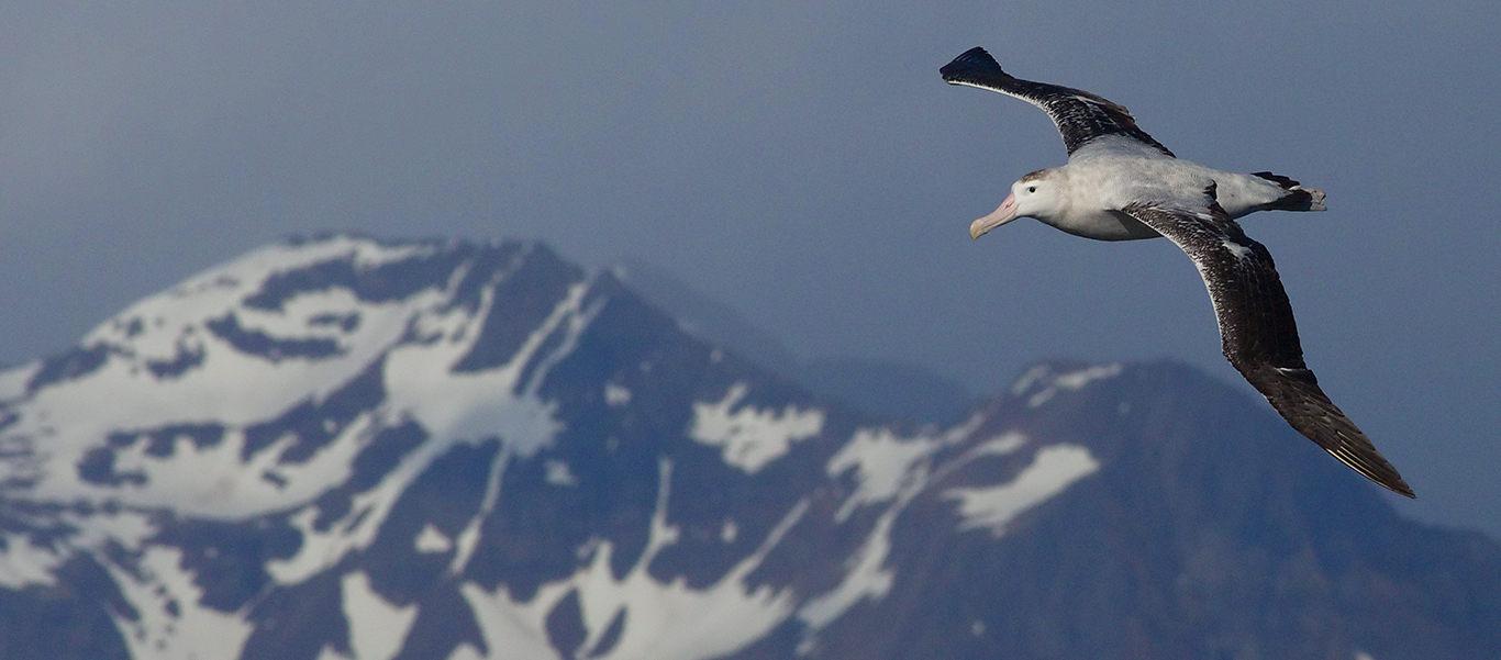 South Georgia cruise slide of Wandering Albatross in flight