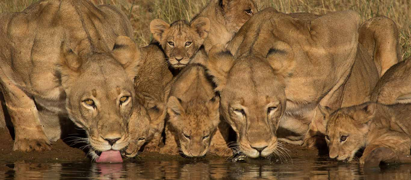 Namibia safaris photo of Lion Pride drinking water