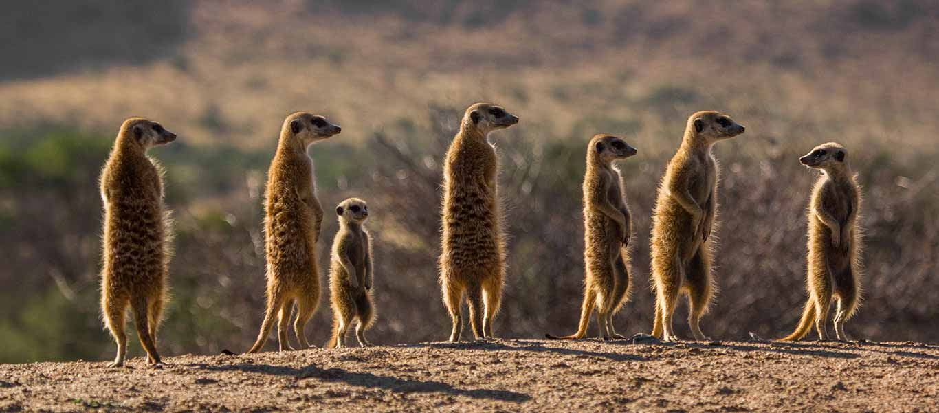 Africa safari image of Meerkats