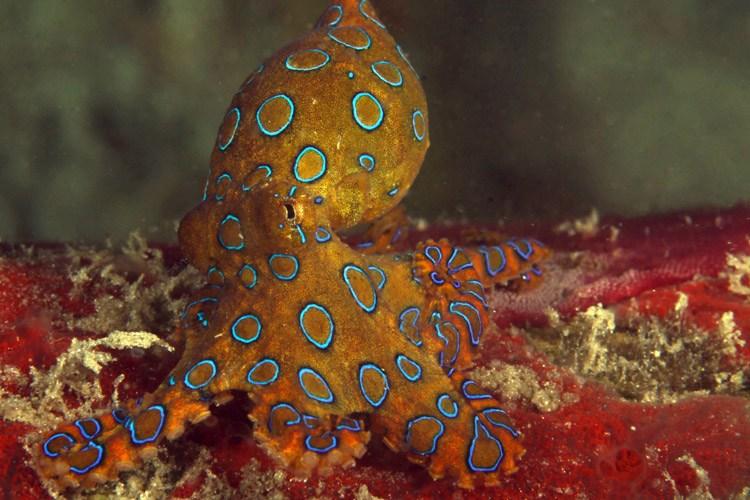Raja Ampat diving tour slide showing Blue-ringed Octopus