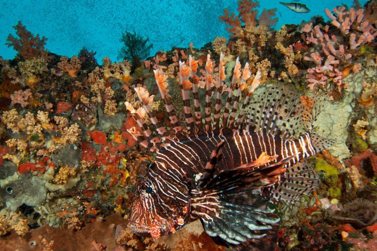 Raja Ampat diving tour photo features a Common or Red Lionfish