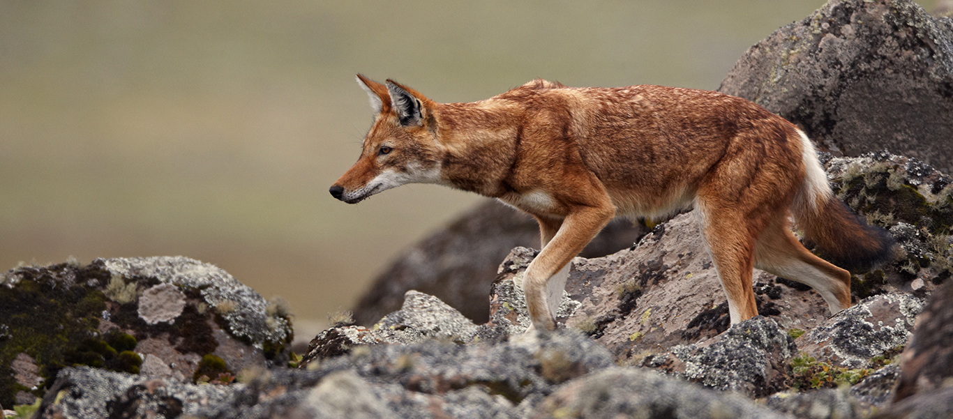 Ethiopian travel and tours image of a wolf walking on rocks
