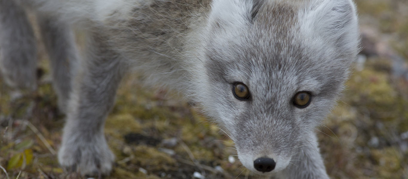 Greenland and Baffin Island image of an Arctic Fox