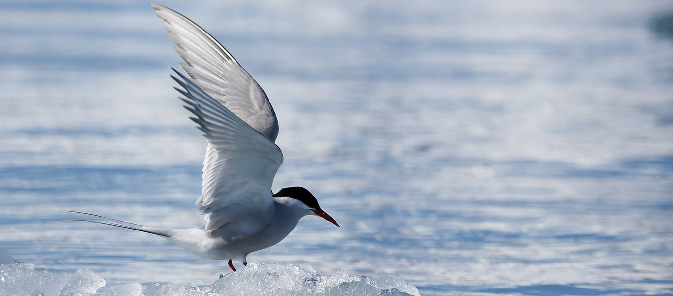 Baffin Island and Greenland tours image showing an Arctic Tern on ice