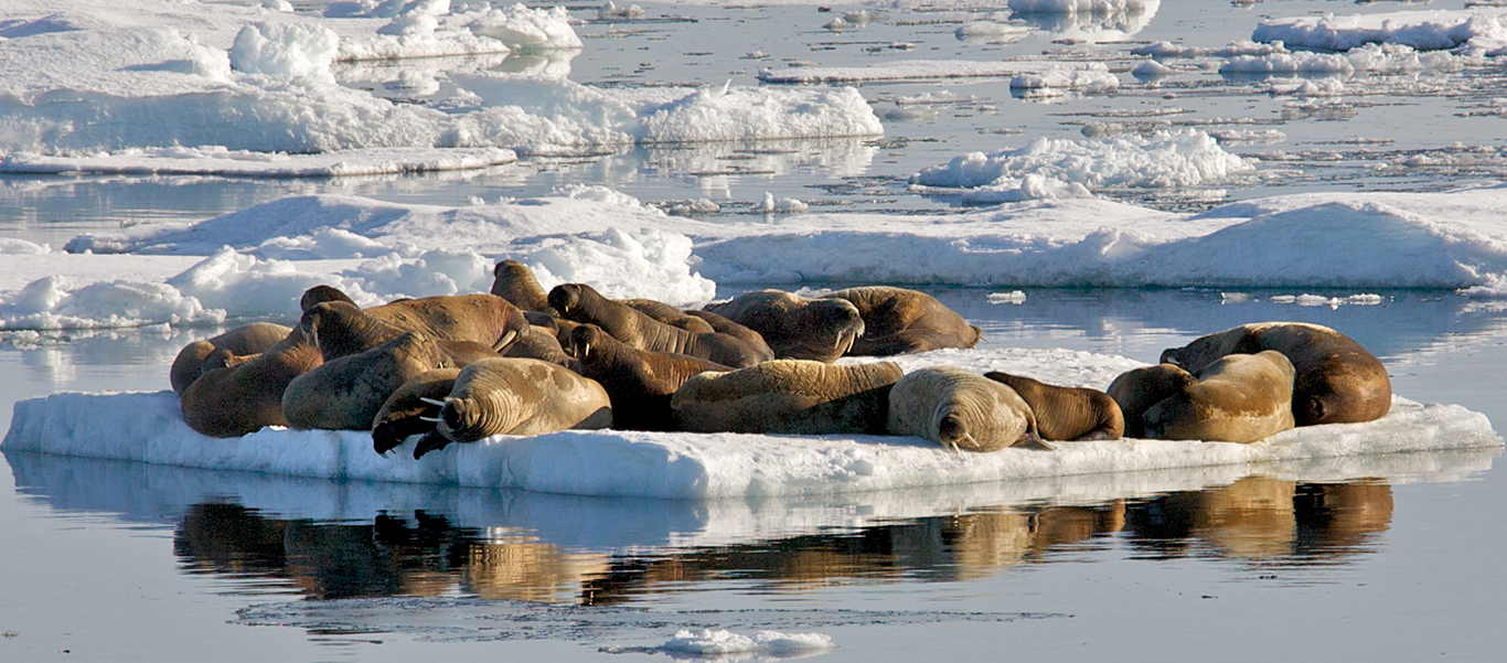 Baffin Island tours slide of walruses laying on floating ice