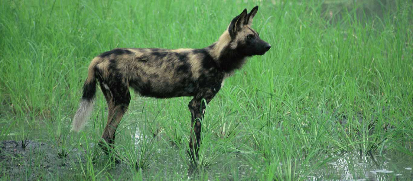 Botswana safari green season image of African Wild Dog