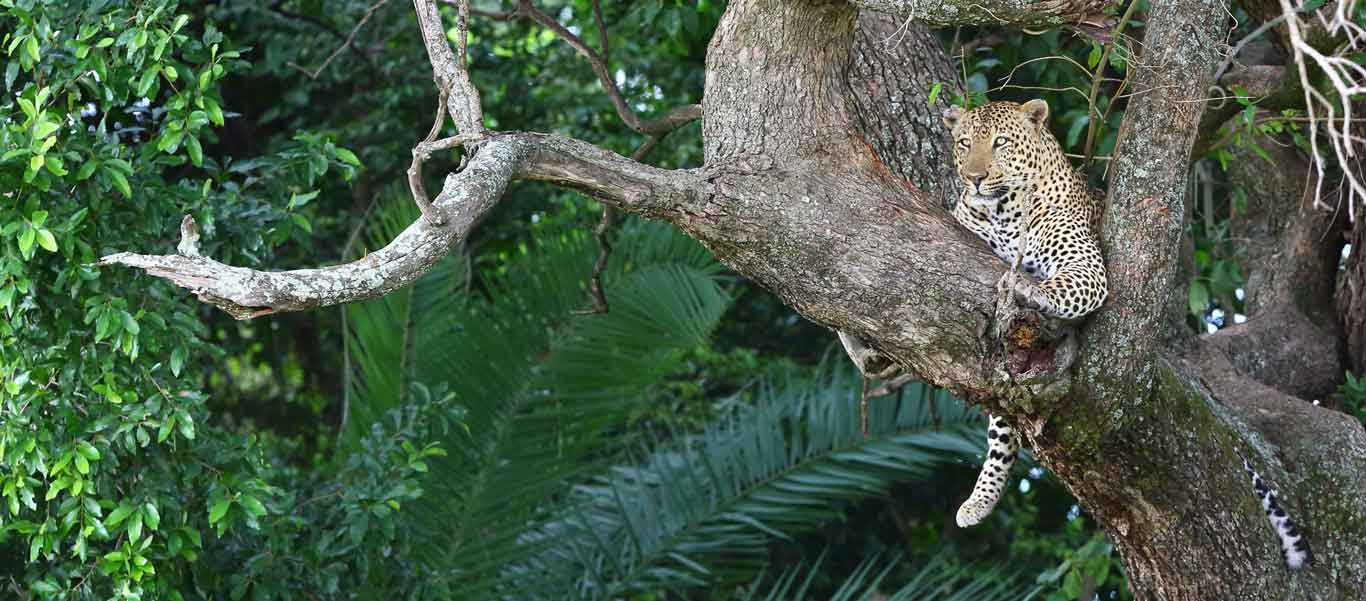 Best time to visit Botswana photograph of Leopard in tree