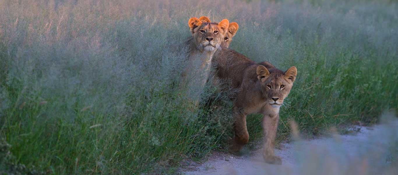 Botswana green season safari image of young Lions