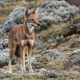 Ethiopia travel photo of an Ethiopian Wolf